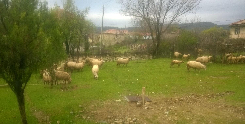 The sheep walking through