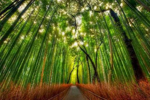 Hutan Bambu Sagano Yang Bisa Menari dan Bersiul Alami di Jepang