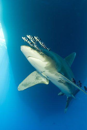 10 Spesies Hiu yang Hampir Punah di Dunia: Oceanic White-tip Shark