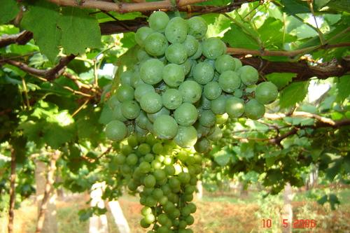 Gambar Anggur Hijau