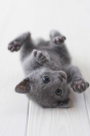 Cute russian blue kitten playing
