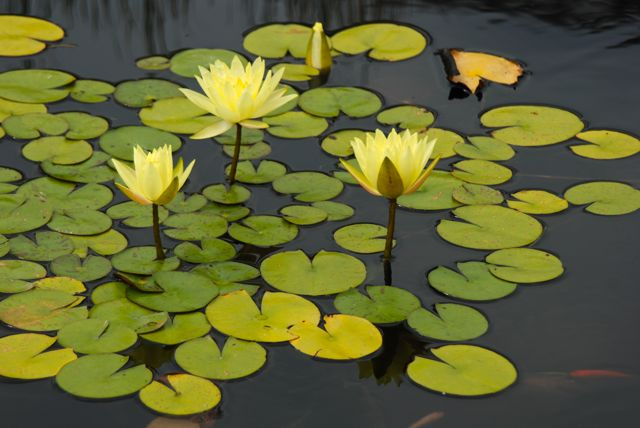 A few yellow waterlilies and orange fishies. The lily ponds are located to the side of Phipps a very worth the walk around the building.