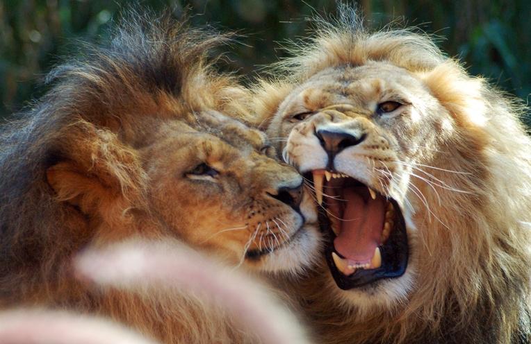 Imagenes de leones imagen pareja de leones - Animales salvajes apareandose ...