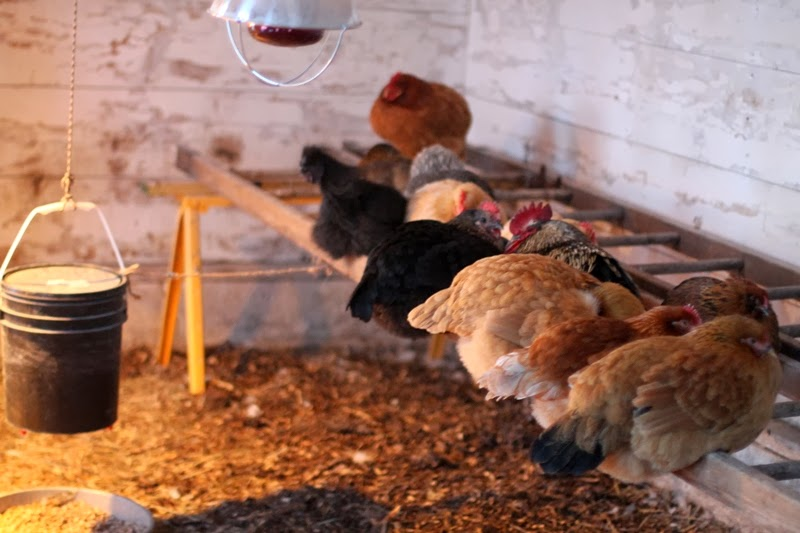 Hens roosting in the Cheep Shed