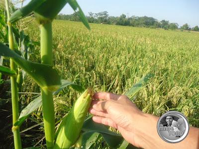 Ciri - ciri jagung siap dipanen