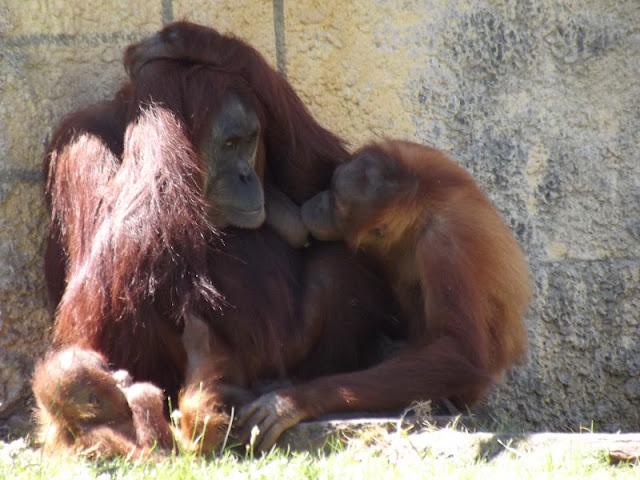 zoo de la Boissière du Doré, zoo, animaux, singe, bullelodie