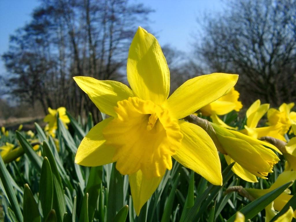 Yellow Daffodils Wallpaper Yellow Daffodils Wallpaper