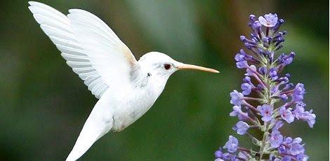 Beija flor branco!