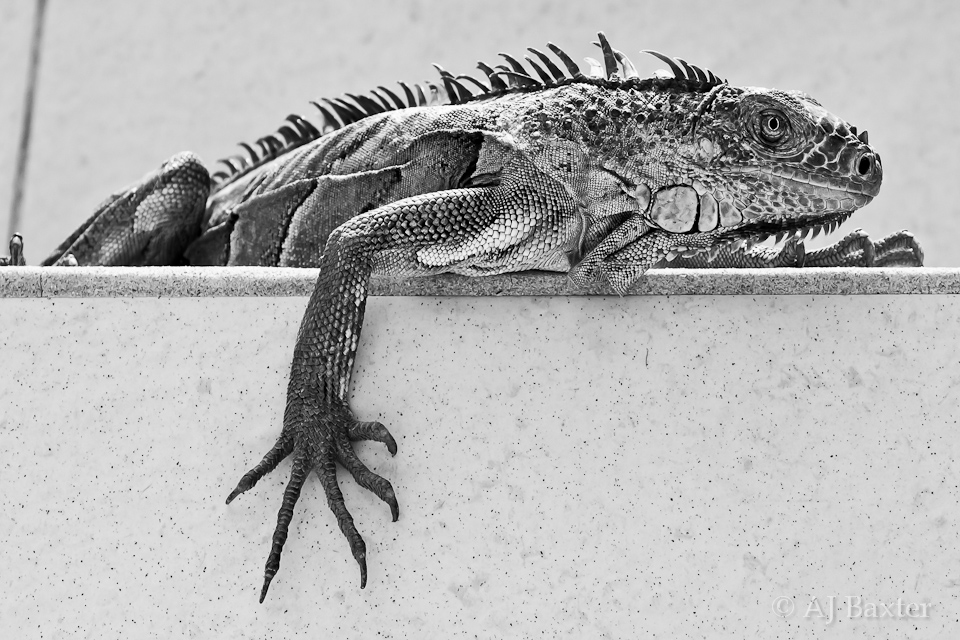Image: Sunbathing Iguana from Ambergris Caye, Belize by AJ Baxter