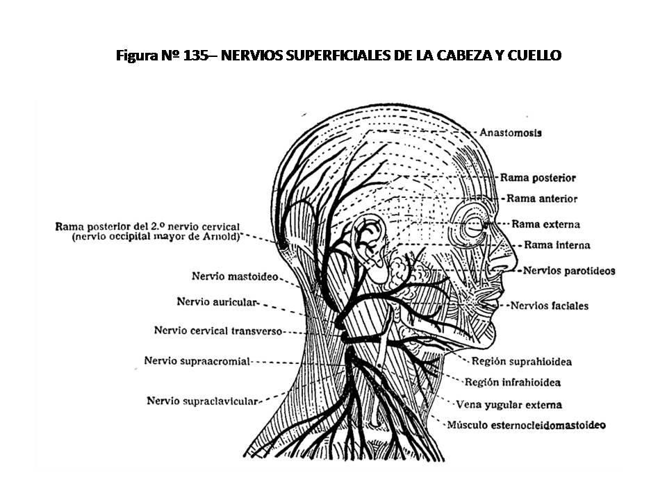 ATLAS DE ANATOMÍA HUMANA: 135. NERVIOS SUPERFICIALES DE LA CABEZA Y ...