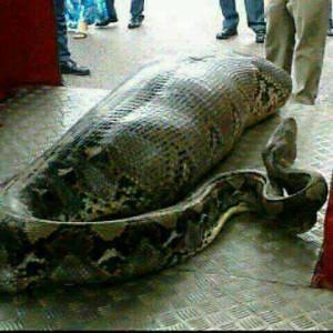 [Image: Snake-300x300.jpg]