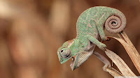 Macro Chameleon Picture and Photo 24