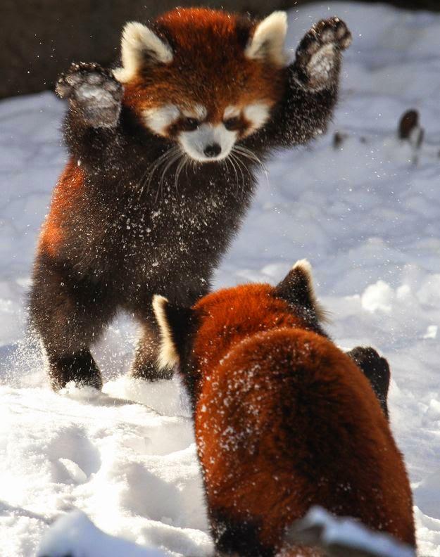 Snow loving red pandas