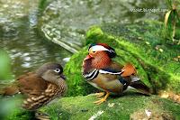http://3.bp.blogspot.com/-crZ5dsnXm-g/TsaEweUwwKI/AAAAAAAAC1U/tEDVUpHTTXU/s640/IMG_6388+Mandarin+Duck1.jpg