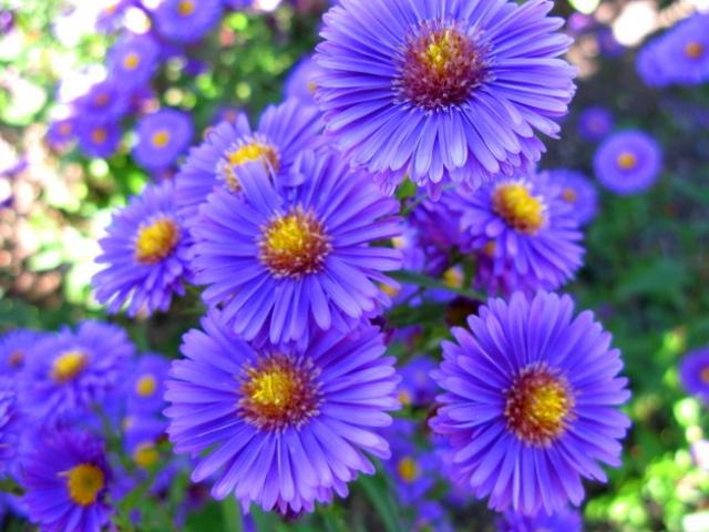 Flowers Planets September Aster Flowers
