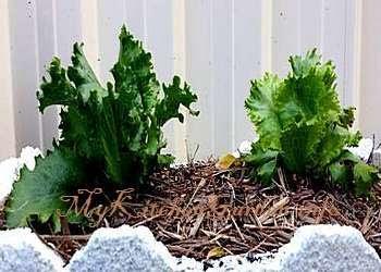 Lettuce Growing in a Pot