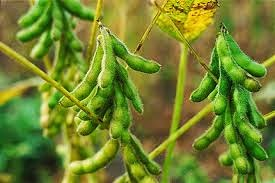 kacang soya gmo