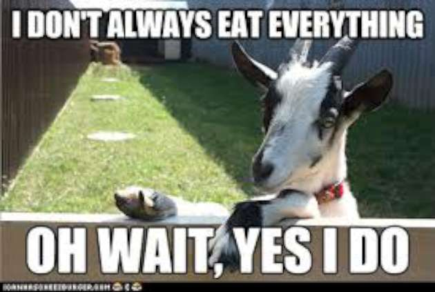 Everything Is Funny Meme : Funny goat sayings and quotes quotesgram
