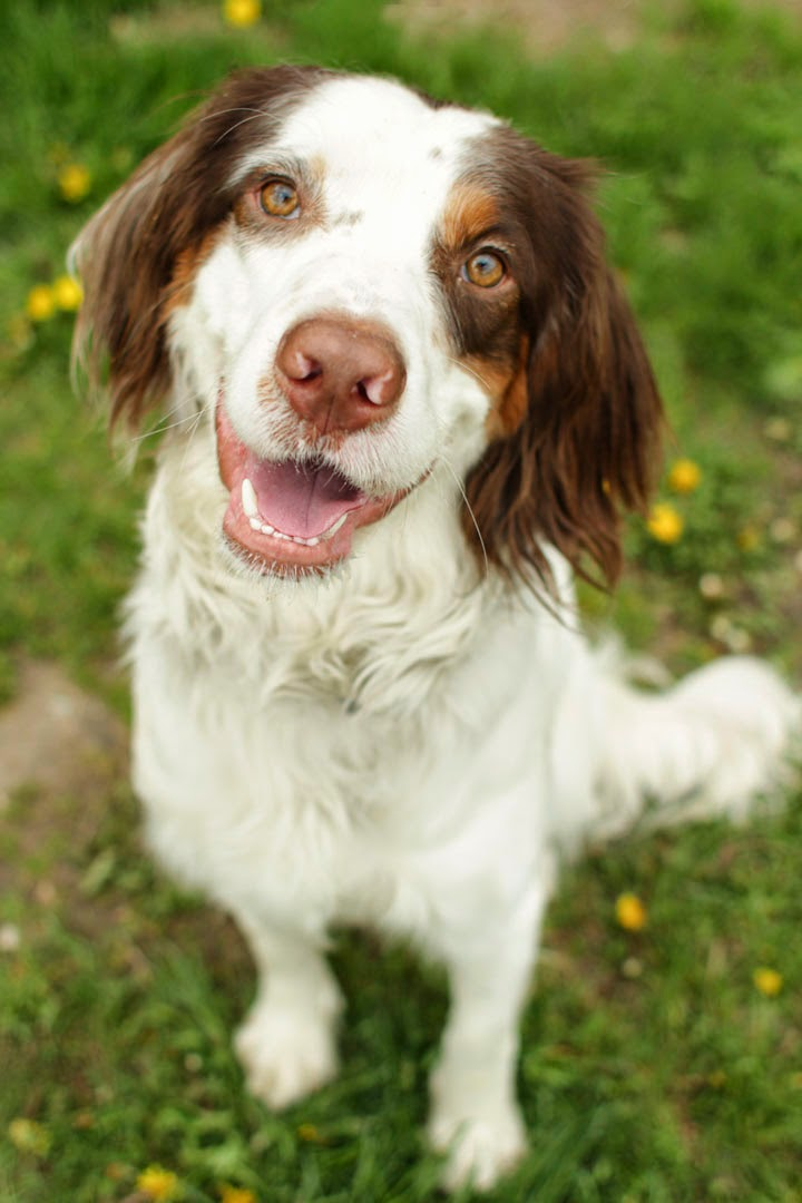 Thursday, May 22, 2014 · 1 comment Welsh Springer Spaniel Adoption