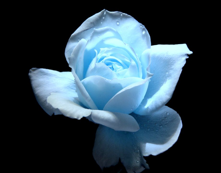 Sky Blue Rose Flower Wallpaper  Bouquet Idea