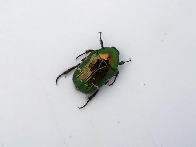 zielony żuczek