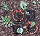 Silverweed in pots
