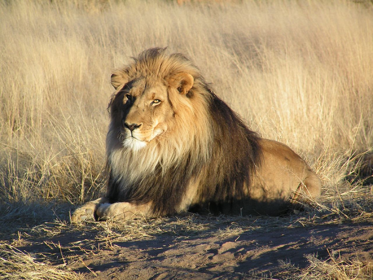 Hd Wallpaper Graphic Indian Lion And African Lion And White Loin