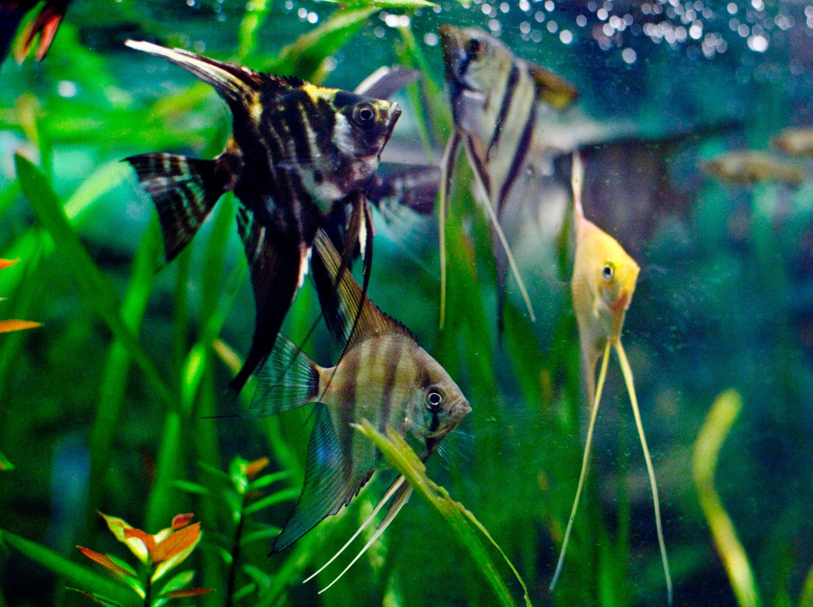 Aquarium Fish - Angelfish Pictures Animals Library