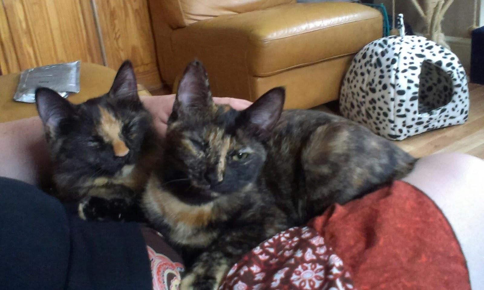 2 tortie kittens