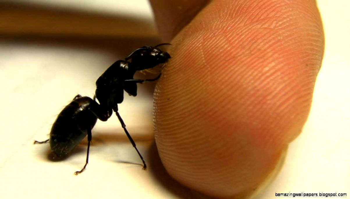 Queen black carpenter ant lapping up sweat   YouTube