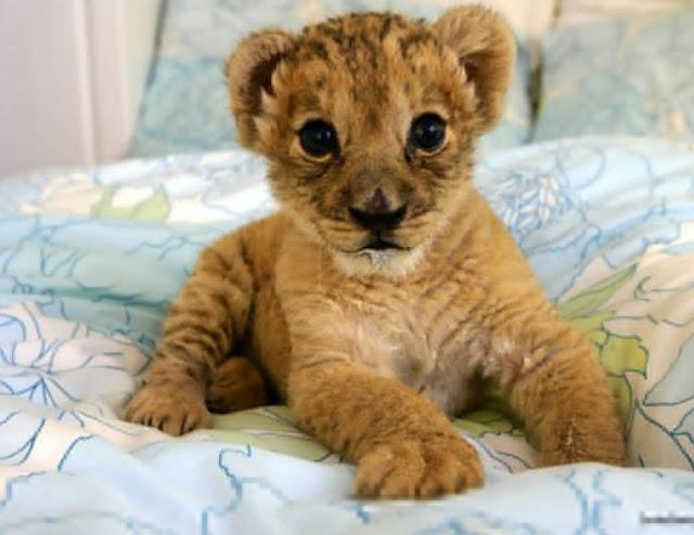 Baby-lion-Wallpaper