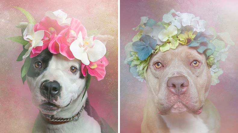 Fotógrafa muestra el lado más dócil del Pit Bulls para alentar su adopción