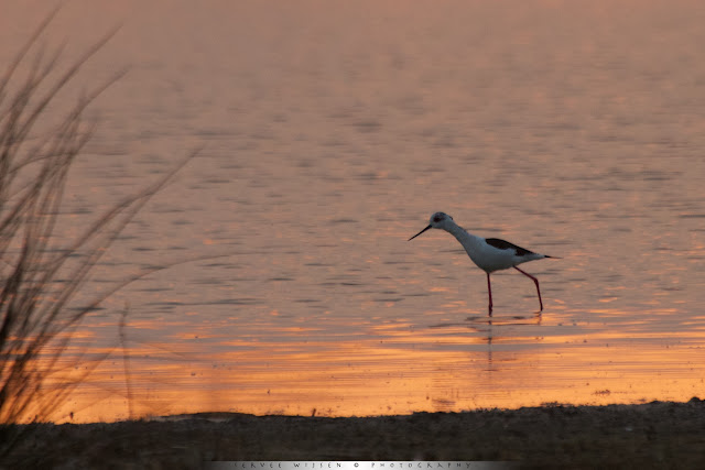 Steltkluut - Black-winged Stilt - Himantopus himantopus