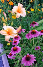 Lilies & Purple Coneflower are blooming in the garden
