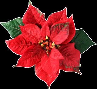 Flor De Natal    Uma Planta De Corvermelha Muito Usada Para Fins