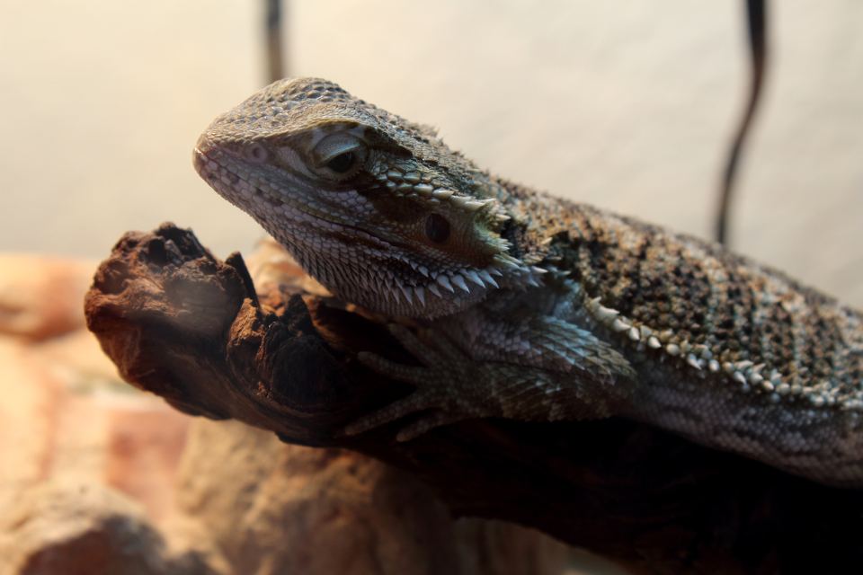 My Bearded Dragon Zilla