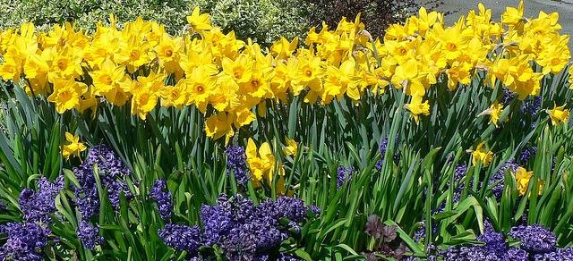 wordsworth host of golden daffodils