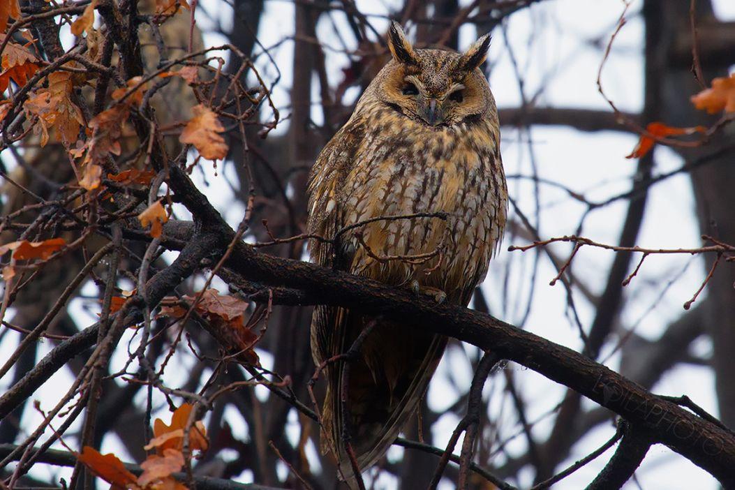 18. Long-eared Owl