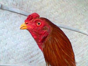 ayam Bangkok asli, Anda justru akan mendapatkan ayam Bangkok lokal