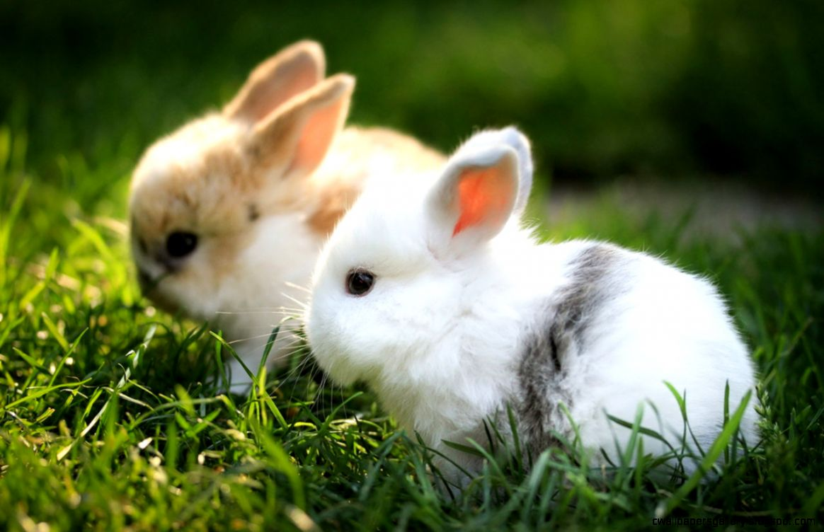 Cute White Bunny Wallp...