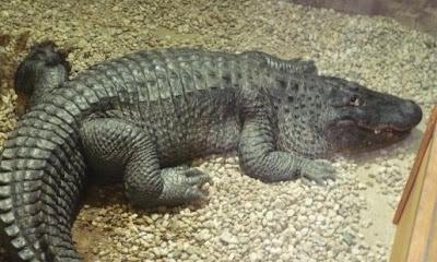 Nile crocodile (Crocodylus niloticus