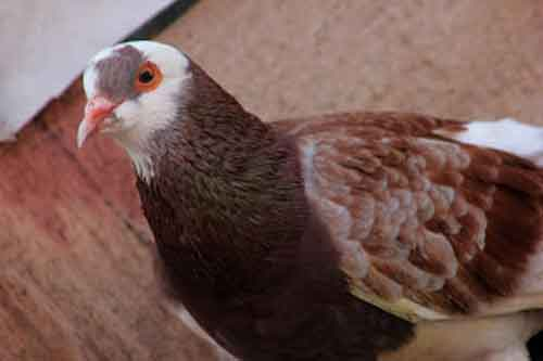 Warna Plontang - karakter burung merpati