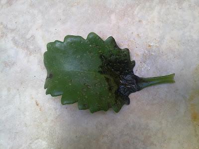Kalanchoe Leaf