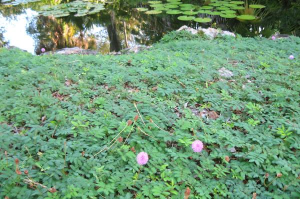 Garden Design Round Table Sunshine Mimosa a Lawn