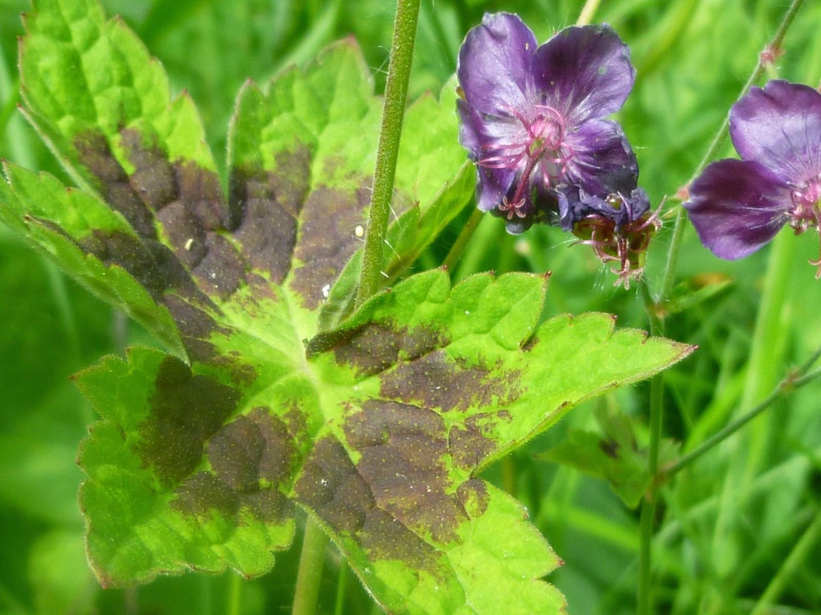 Svanå trädgård: brunnäva