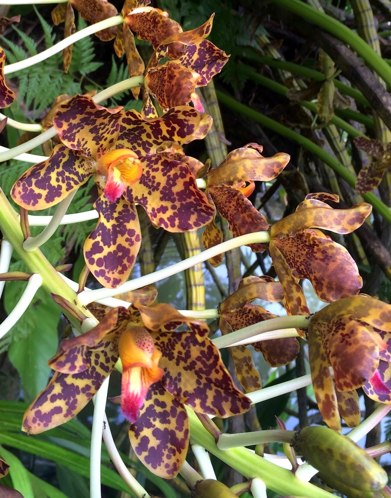 The Intercontinental Gardener: The heavyweight of orchids in full bloom