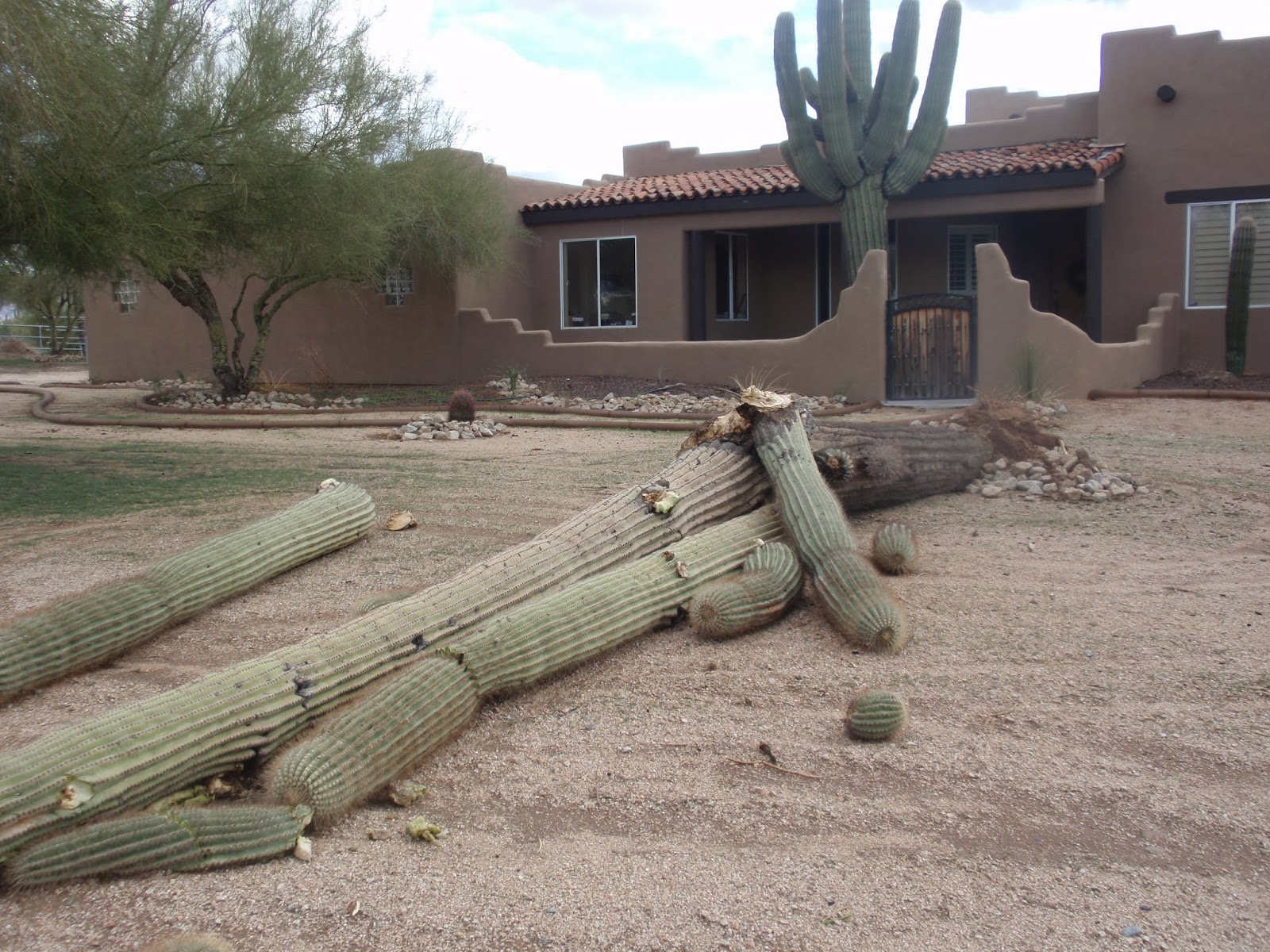 Harming or moving a saguaro is illegal in the state of Arizona, unless a special permit is obtained. One exception: if a private home sits on less than 10 acres and a cactus falls during a storm, then the homeowner is permitted to remove the remains. (Photo by Kristy McCaffrey, author of Into the Land of Shadows.)