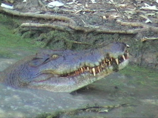 Crocodile Queensland Australia the Billabong sanctuary
