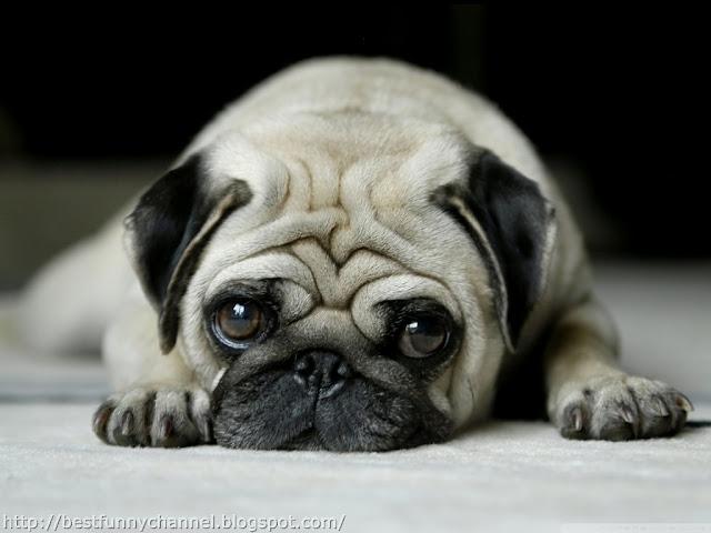 Very funny pug.