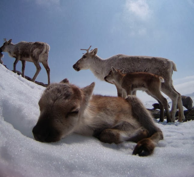 Funny animals of the week - 20 December 2013 (40 pics), cute baby reindeer sleeps in snow